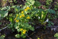 A imagem da mola amarela floresce o Pântano-cravo-de-defunto chamado nos bancos de The Creek Palustris do Caltha fotos de stock