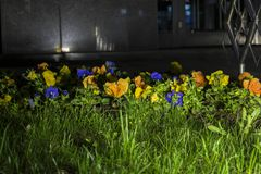 Imagem da noite de um zumbido floral iluminado por um refletor imagem de stock