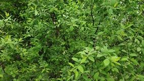 Imagem da planta dos sândalos que mostra suas folhas e hastes fotos de stock royalty free