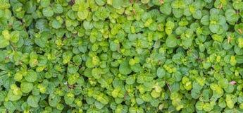 imagem da textura da folha da hortelã Fotos de Stock