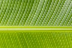 Imagem da textura do fundo da folha da banana Foto de Stock Royalty Free