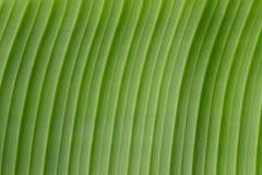 Imagem da textura do fundo da folha da banana para seu projeto Fotos de Stock