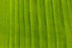 Imagem da textura do fundo da folha da banana para seu projeto Imagem de Stock Royalty Free