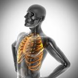 Imagem da varredura da radiografia dos ossos do ser humano Fotografia de Stock