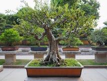 Imagem das árvores dos bonsais que podem ser vistas em Nan Lian Garden em Hong Kong fotos de stock royalty free