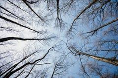 Imagem das árvores sem as folhas com o céu azul de cristal sem nuvens Foto das árvores sem folha da parte inferior para baixo fotografia de stock royalty free