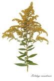 Imagem das flores secadas assinadas no latim foto de stock