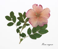Imagem das flores secadas assinadas no latim Imagens de Stock