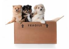 Imagem de 3 filhotes de cachorro de Pomeranian em uma caixa de cartão imagens de stock