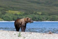 Imagem de arctos selvagens do ursus do urso do urso marrom no lago e na floresta do fundo imagem de stock royalty free