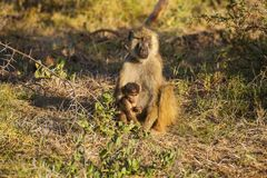 Imagem de babuínos do macaco Imagem de Stock Royalty Free