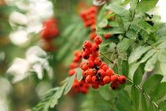 Imagem de bagas de Rowan em um arbusto, close-up fotos de stock