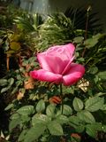Imagem de Beautyful Rosa imagens de stock