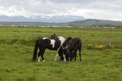 Imagem de cavalos islandêses fotos de stock royalty free