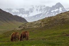 Imagem de cavalos islandêses foto de stock royalty free