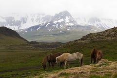 Imagem de cavalos islandêses imagem de stock royalty free