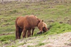 Imagem de cavalos islandêses fotografia de stock royalty free