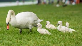 Imagem de cisnes novos da cisne do bebê na grama com sua família foto de stock royalty free