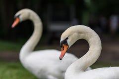 Imagem de cisnes novos da cisne do bebê na grama com sua família imagem de stock
