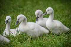 Imagem de cisnes novos da cisne do bebê na grama com sua família fotos de stock
