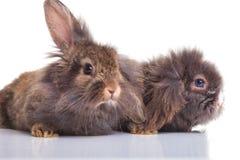 Imagem de dois bunnys bonitos do coelho da cabeça do leão que encontram-se para baixo Imagem de Stock Royalty Free