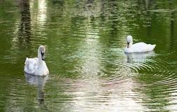 Imagem de duas cisnes Fotografia de Stock Royalty Free