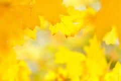 imagem De-focalizada, borrada das folhas de bordo amarelas, fundo do borrão do outono, textura imagem de stock royalty free