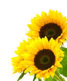 Imagem de fundo do girassol isolada no branco imagem de stock royalty free