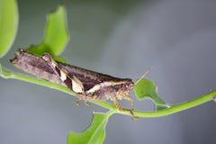 Imagem de gafanhoto rufous-equipado com pernas no fundo da natureza inseto Fotografia de Stock