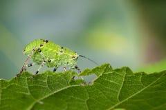 Imagem de gafanhotos da ninfa de Katydid & de x28; Tettigoniidae& x29; Foto de Stock