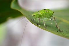 Imagem de gafanhotos da ninfa de Katydid & de x28; Tettigoniidae& x29; Imagem de Stock