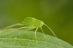 Imagem de gafanhotos da ninfa de Katydid & de x28; Tettigoniidae& x29; Imagens de Stock