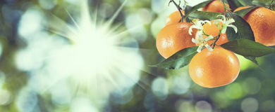 Imagem de laranjas doces na árvore, fotos de stock
