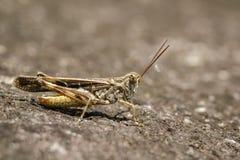 Imagem de locustídeo de Brown no assoalho inseto Foto de Stock Royalty Free