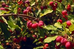 A imagem de maçãs pequenas vermelhas fotografia de stock