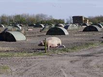 Imagem de porcos de campo com seus abrigos Imagens de Stock Royalty Free