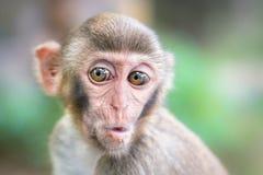 Imagem de querer saber babiy do Rhesus do Macaque Fotos de Stock