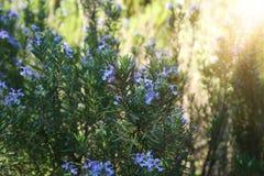 imagem de Rosemary Herb fresca foto de stock royalty free