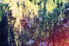imagem de Rosemary Herb fresca imagens de stock royalty free