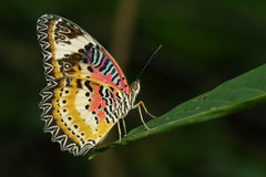 Imagem de Tiger Butterfly liso nas folhas verdes Animal do inseto foto de stock