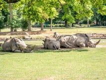 Imagem de três rhiniceros brancos que se encontram à sombra das árvores e do sono imagens de stock royalty free