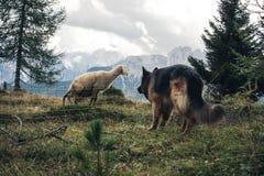 Imagem de um cão-pastor alemão que guarda um carneiro do ` A da cortina D imagem de stock