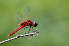 Imagem de um cora de Macrodiplax da libélula no fundo da natureza Foto de Stock Royalty Free
