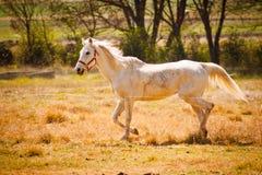 A imagem de um grande cavalo branco corre no país Imagens de Stock Royalty Free