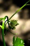 Imagem de um ramo do wineyard na mola Fotografia de Stock