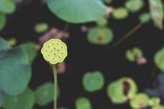 Imagem de uma únicas, haste dos lótus, sementes, e vagem altas, verdes, fronteando uma folha enorme dos lótus, em um ajuste gross fotos de stock