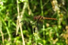 Imagem de uma libélula consideravelmente perto Imagens de Stock Royalty Free