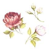 A imagem de uma rosa Ilustração da aquarela da tração da mão Fotos de Stock Royalty Free