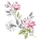A imagem de uma rosa Ilustração da aquarela da tração da mão Fotografia de Stock