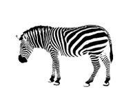 Imagem de uma zebra Fotos de Stock Royalty Free